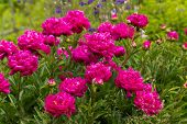 Pink rose flowers with green leaves isolated over nature  background