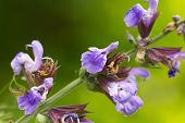 picture of borage  - Borago officinalis is a great medicinal plant that is commonly known as borage plant or borage herb or borage seed oil - JPG
