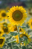 Sun Flower in the Garden India