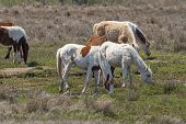 Colorful Wild Ponies Grazing In A Wetland In Chincoteague National Wildlife Refuge In Virginia poster