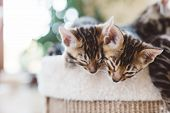 Two young Bengal kittens hug when sleeping. Animal love, relax in home. poster