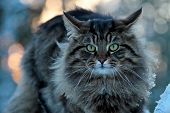A Furious Norwegian Forest Cat Male Sits On A Stone In The Winter Time Staring At The Photographer poster