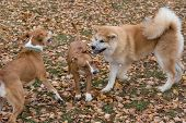 Cute American Staffordshire Terrier Puppy, Akita Inu Puppy And Multibred Dog Are Playing In The Autu poster