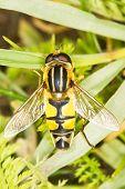 European hoverfly resting on grass / Helophilus trivittatus