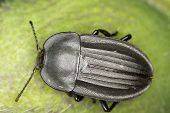 Silpha tristis / carrion beetle on a green leaf - close up
