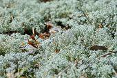 Lichen Cladonia Rangiferina. Reindeer Grey Lichen. Beautiful Light-colored Forest Moss Growing In Wa poster