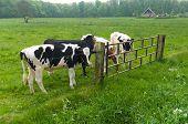 Friesische Kühe