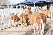 Llamas In The Zoo Are In Their Aviary.llamas In The Zoo Are In Their Aviary. poster
