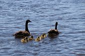 pic of mother goose  - Canadian goose and gander swimming with thier goslings - JPG
