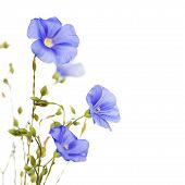 image of flax plant  - Beautiful flowers of flax isolated on white background - JPG