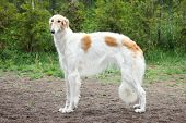 stock photo of greyhounds  - Russian borzoi greyhound dog standing - JPG