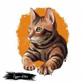 Toyger Kitten Breed Of Domestic Cat Isolated On White. Domestic Shorthaired Tabbies, Toy Tiger. Digi poster