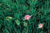 The Succulent Coastal Plant Carpobrotus Rossii Or Carcalla Grows On Coastal Dunes. Green Background  poster