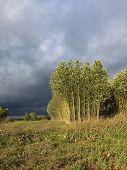 Storm Clouds Over Poplars