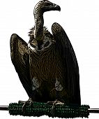 African White Backed Vulture Illustration