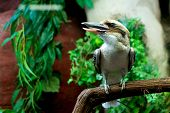 stock photo of kookaburra  - The Laughing Kookaburra  - JPG