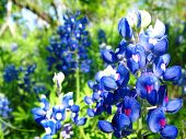 image of bluebonnets  - The famous Texas bluebonnet wildflowers in Dallas - JPG