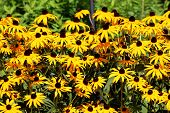 Layers Of Densely Planted Black-eyed Susan Or Rudbeckia Hirta Or Brown-eyed Susan Or Brown Betty Or  poster