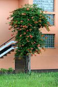 Tall Decorative Tree Like Old Trumpet Vine Or Campsis Radicans Or Trumpet Creeper Or Cow Itch Vine O poster