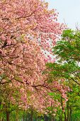 stock photo of lapacho  - Pink Tabebuia flower blooming in Spring season - JPG
