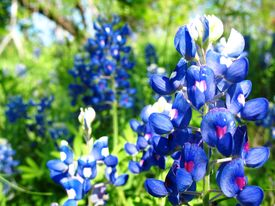 pic of bluebonnets  - The famous Texas bluebonnet wildflowers in Dallas - JPG