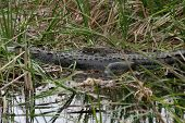 pic of alligator baby  - close - JPG