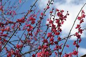 Pink Cherry Blossoms Against Blue Sky poster