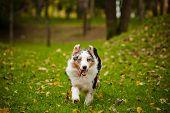 Young Merle Australian Shepherd Running In Autumn