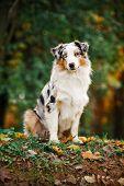 Young Merle Australian Shepherd Portrait In Autumn