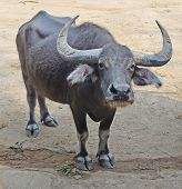 Gaur Or Seladaing