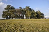May Hill Pine Trees