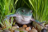 Whites Tree Frog In Grass