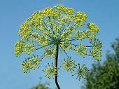 Flores amarelas de erva-doce