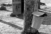 Metal buckets on Maple trees, ready to catch fresh syrup