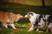 picture of australian shepherd  - two dogs playing with a toy together in autumn - JPG