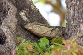 stock photo of monitor lizard  - The rock monitor  - JPG