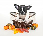 Fall French Bulldog