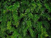stock photo of pine-needle  - Close - JPG