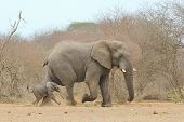 Elephant - Wildlife Background from Africa - In father's footsteps, baby animals