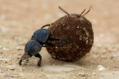 Flighless Dung Beetle Rolling Dung Ball