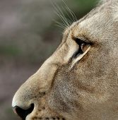 image of lioness  - Close up of a lioness face with large amber eyes - JPG