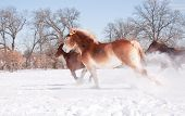 Horses running wide open in snowy winter pasture