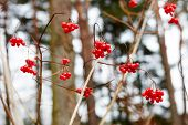 viburnum berries in winter. winter day.