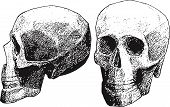 foto of foreshortening  - human skull in two foreshortenings - JPG