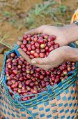 coffee berries on agriculturist hand.