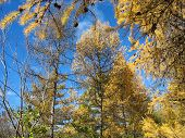 Autumn. Gold larch tops against blue sky