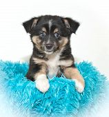 Cute Aussie Puppy