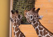 Two Giraffe Eating