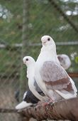 stock photo of pigeon loft  - a beautiful colored birds posing for picture - JPG