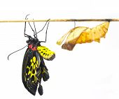 image of cocoon  - New born Common Birdwing butterfly emerge from cocoon in white background - JPG